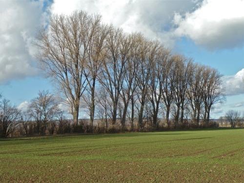 Zart grünende Saat auf Obersülzer Feld