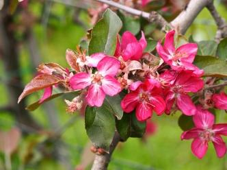 06.Apfelbluete