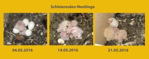 wSchleiereulen_Nestlg.w