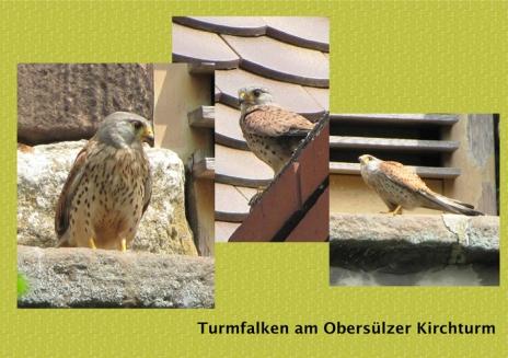 wTurmFalken_O_Kirchtturm
