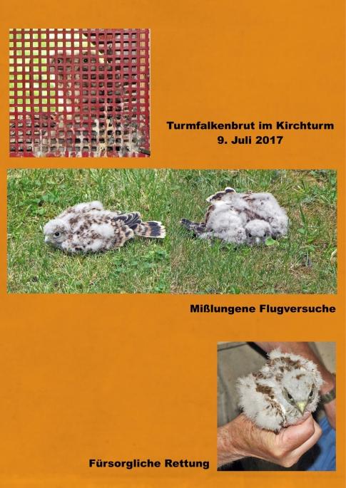 09.07.17_Turmfalkenbrut.w