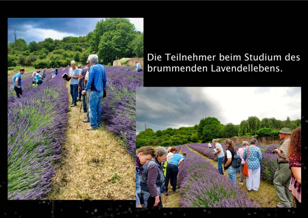 w03.Lavendel