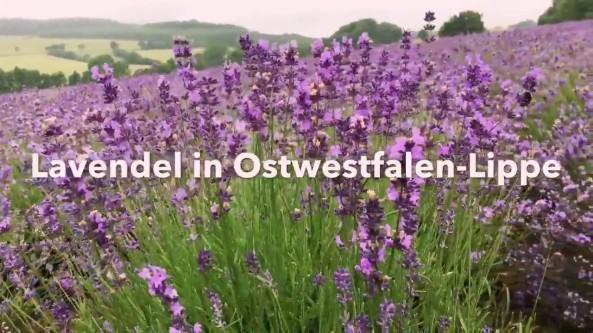 w12.Lavendel_OWL