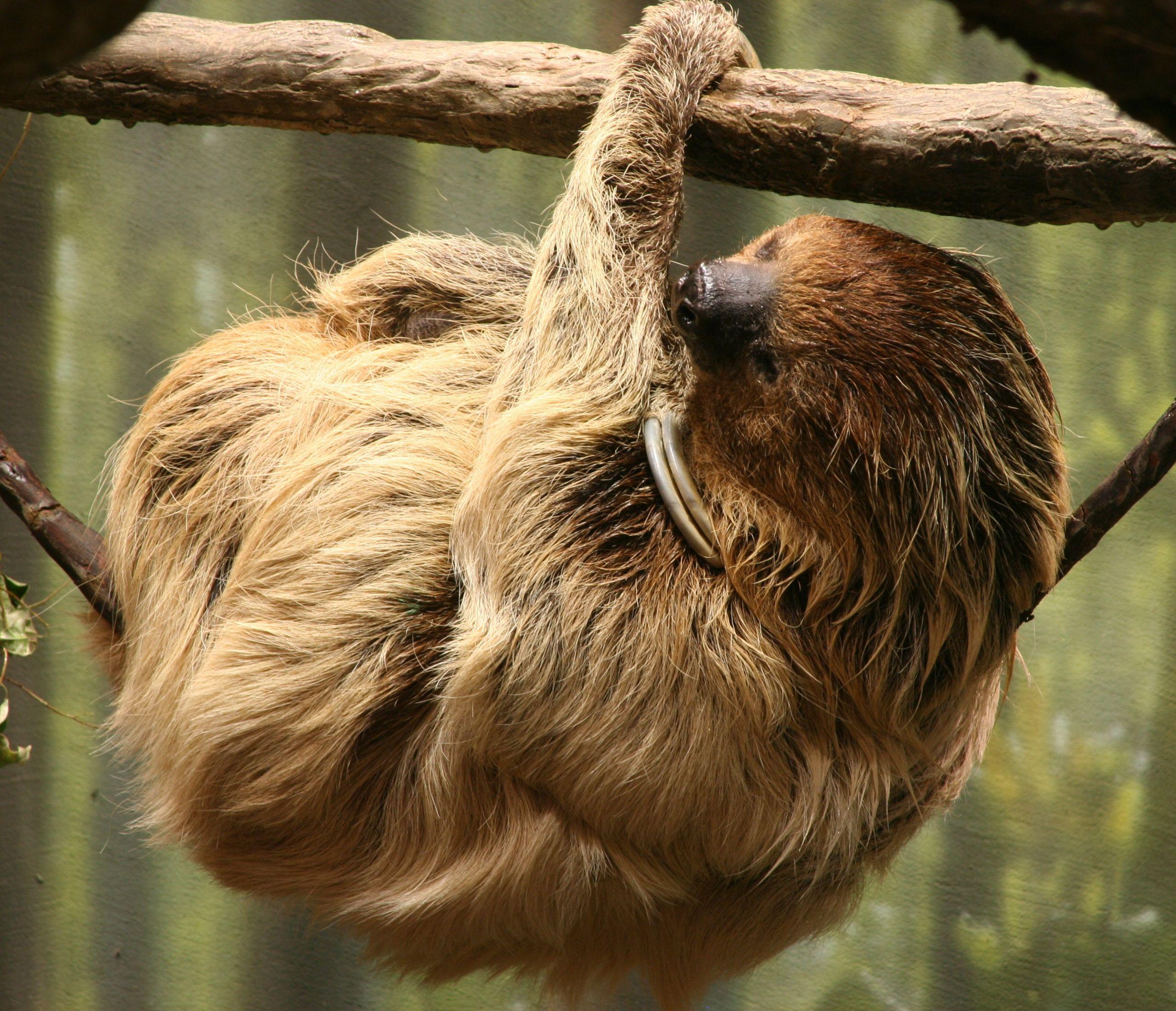 10.Choloepus_didactylus_2_-_Buffalo_Zoo